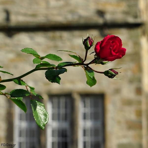 Rote Rose vor dem Erwitter Schloss dsc0635
