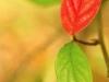 Ein rotes und ein grünes Blatt in Erwitte